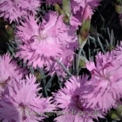 Dianthus plumarius Double Rose - Fjernellike - Bord 21a