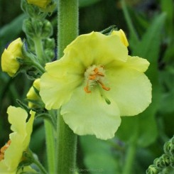 Verbascum Gainsborough - Kongelys Bord 85a