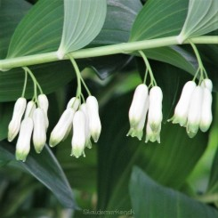 Polygonatum multiflorum - Stor Konval Bord 62